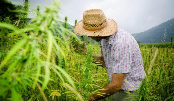 Hemp farmer in a field