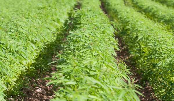 Rows of hemp growing on a farm